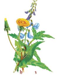 flores del libro de Maria Treben La Salud en la Botica del Señor